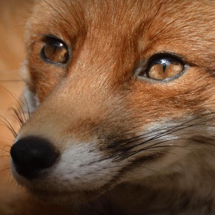 National Fox Welfare Society