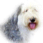 Old English Sheepdog Rescue and Welfare