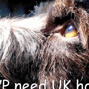 German Wirehaired Pointer Need UK Homes