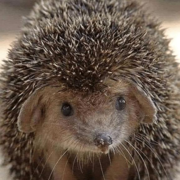 Hodgepigs Hedgehog Rescue