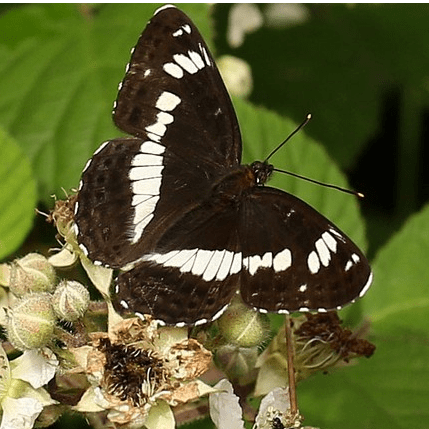 Butterfly Conservation - Lincolnshire Branch