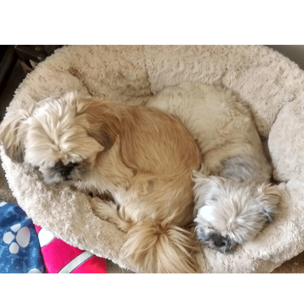 Shih-tzu Action Rescue