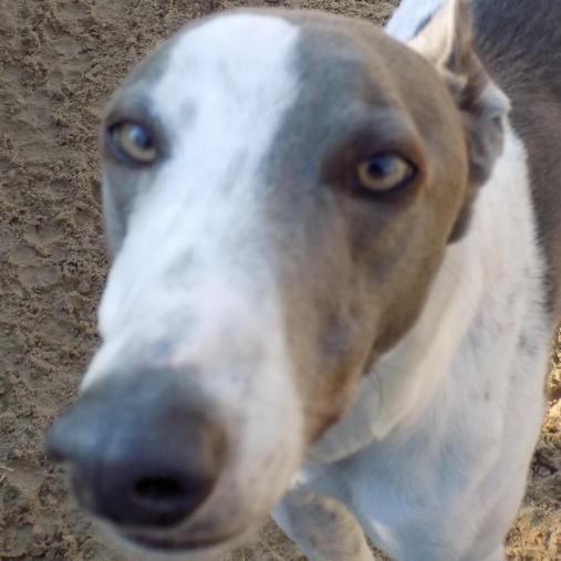 Greyhound Trust Humber