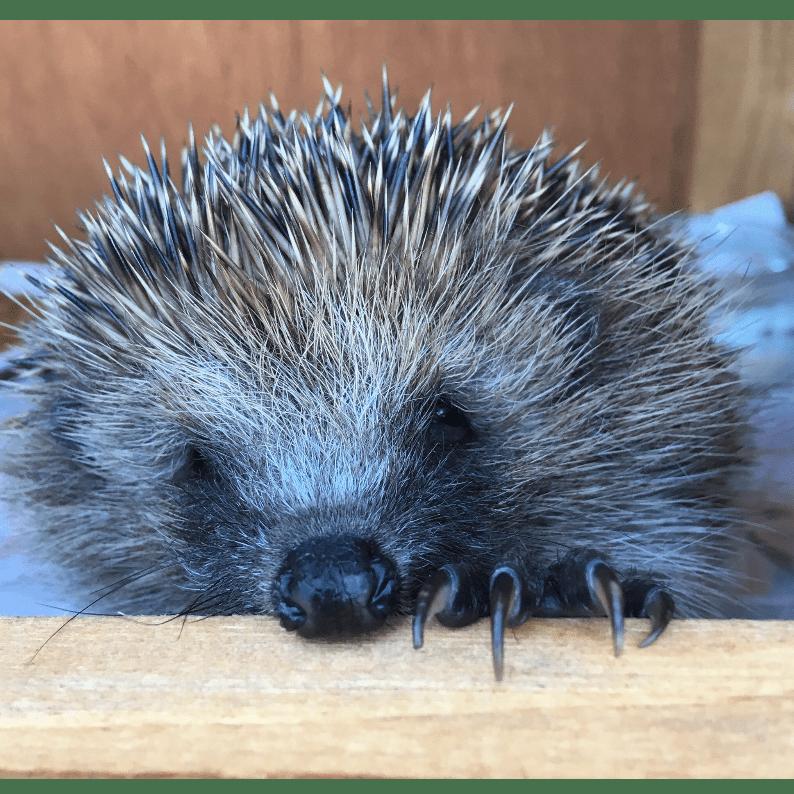 Haydock Hedgehog Helpers