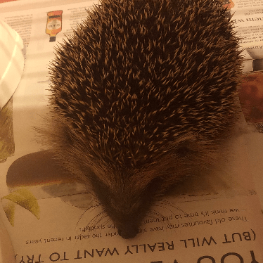 Pins And Needles Hedgehog Rescue