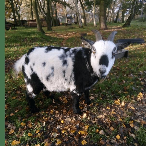 Gladamere Goat Rescue