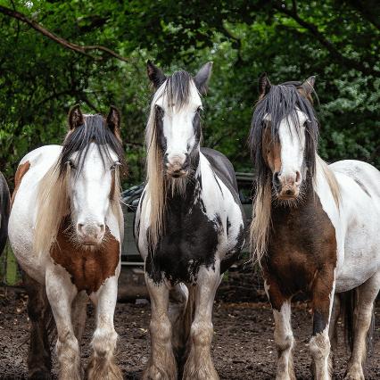 Spirit of the Herd Pony Sanctuary