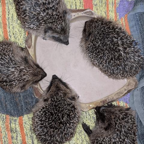 Hedgehog Emergency Rescue
