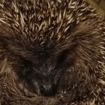Bernie's hedgehog rescue