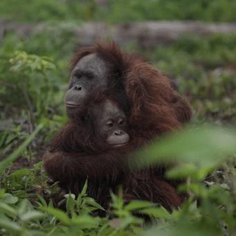 Borneo 2018 - Ebbonie Ambler