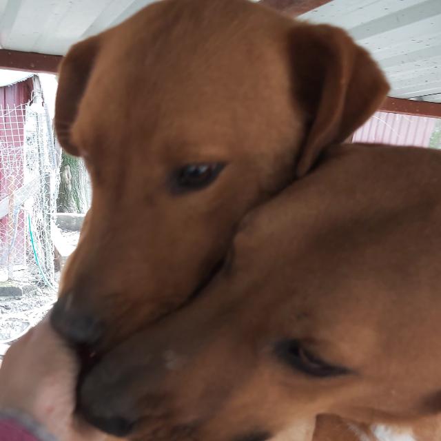 Koycegiz Dogs
