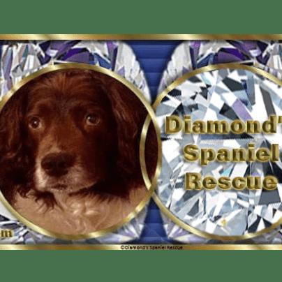 Diamonds Spaniel Forever Homes Rescue