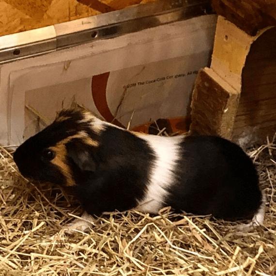APB Guinea Pig Rescue