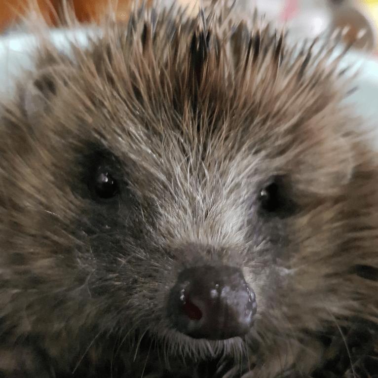 Poppys creche Hedgehog rescue and rehabilitation