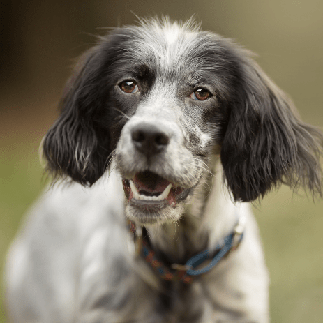 Setter, Brittany and Pointer Rescue, Asturias