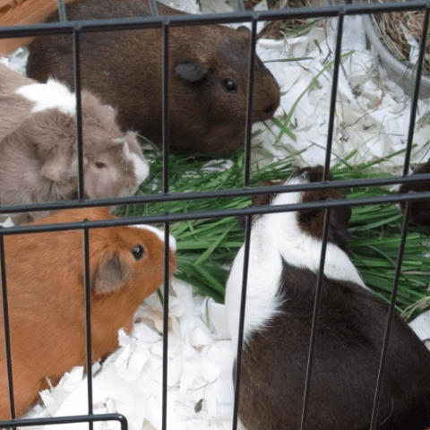 Tees Valley Guinea Pig Rescue