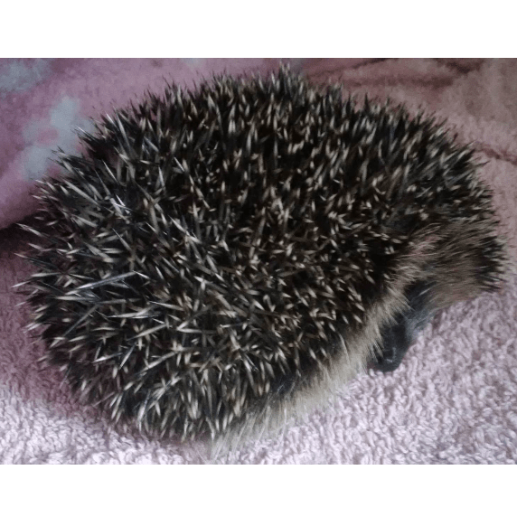 Flissywinkle's Hedgehog Care