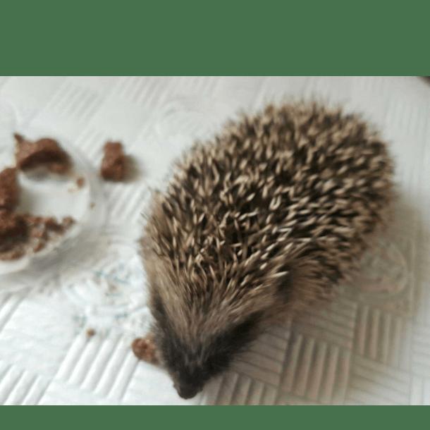 Mels Hedgehog Rescue - Mel Boon
