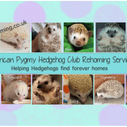 African Pygmy Hedgehog Club Rehoming Service