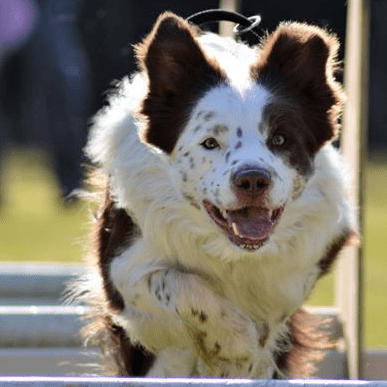 Star Paws Flyball Team