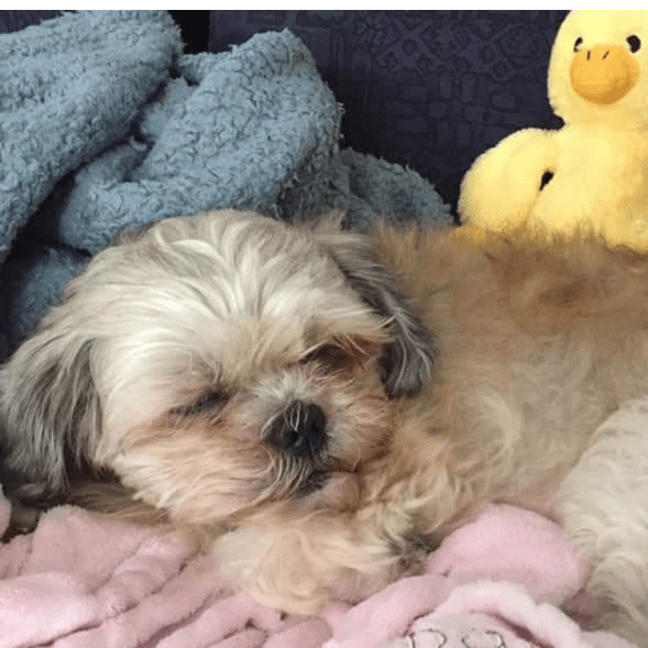 New Ruby the Lhasa Apso and Friends