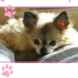 Dizzy Chihuahua Rescue