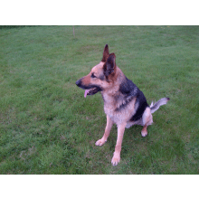 Falco K9 Academy UK - Medical Cover for GSD Rocky