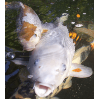 Three Counties Koi & Pond Fish Rescue