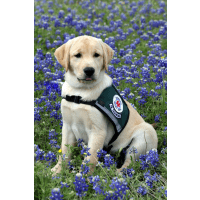 Diabetic Alert Dog for Greg Bentick
