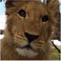 Lion Conservation Africa 2016 - Clara Corbett