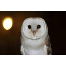 Wings Of Love Owls