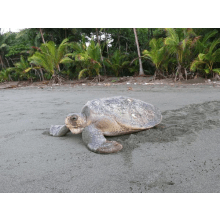 Frontier Primates, Turtles and Big Cat Conservation Project Costa Rica 2015 - Annabelle Hawkes