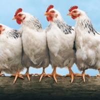 AnimalShacks Chickens & Coops
