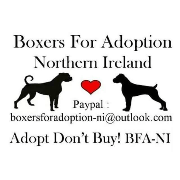 Boxers for Adoption Northern Ireland