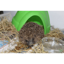 Hedgehog Care and Rehab - Plymouth