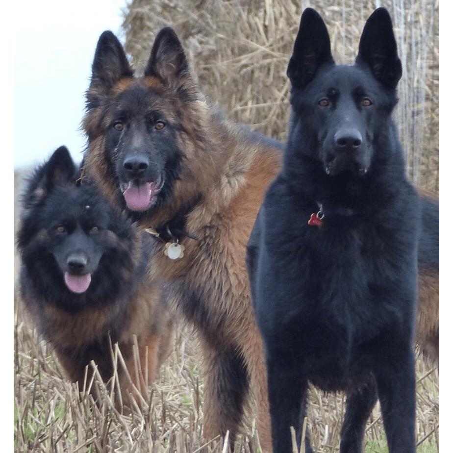 German Shepherd RRR