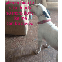 A & M English Bull Terrier Rescue UK