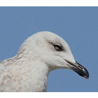 North Thames Gull Group cause logo