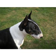 East Anglian Bull Terrier Club Welfare Trust