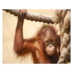 Esther's Great Orangutan Project