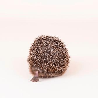 Tumbles Hedgehog Rescue